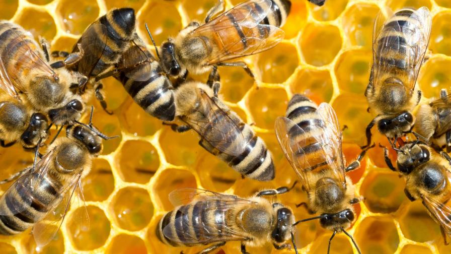 <p>Ще обезщетят&nbsp;стопаните на отровените пчели</p>