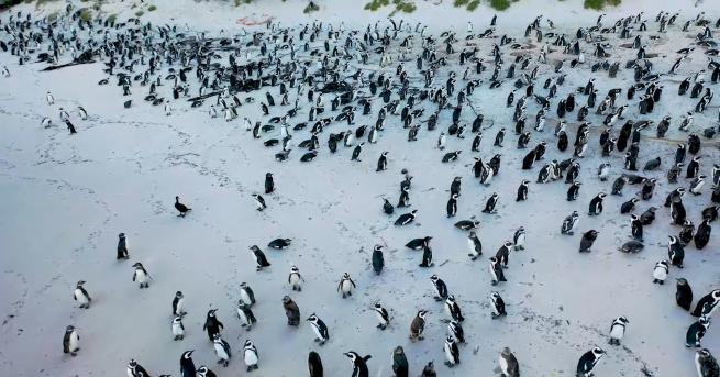 Любопитно Разходка с пингвини в Южна Африка