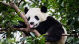 <p>Показаха снимка на <strong>панда албинос</strong>. Вижте я</p>