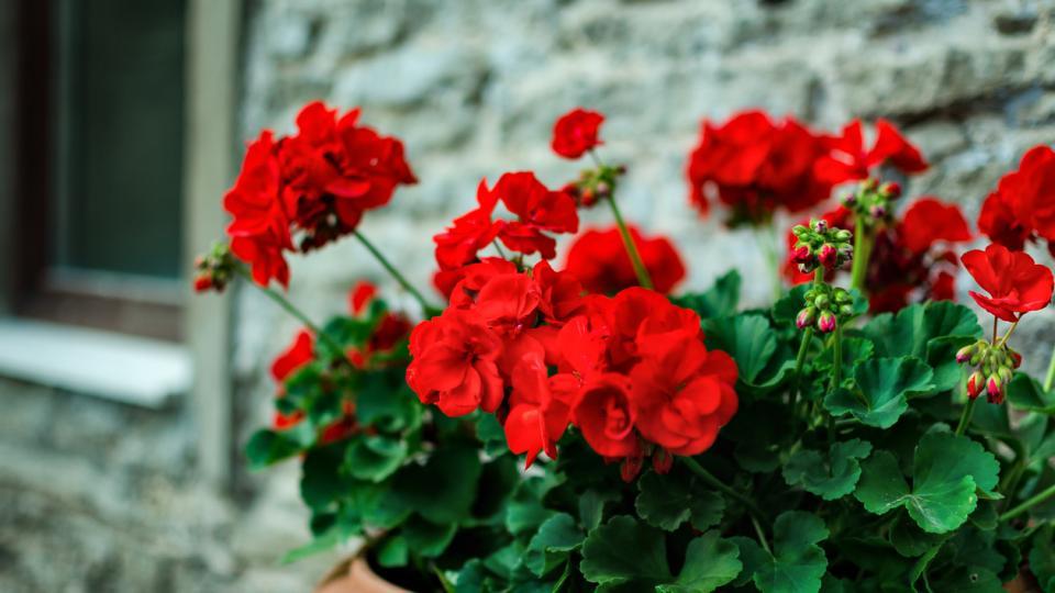 подправка растения билка цвете
