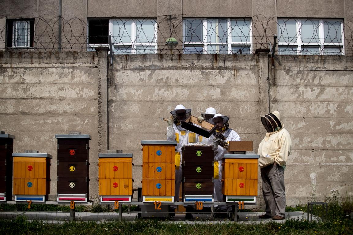 Затворници със своя наставник събират мед от кошери в двора на затвора Херманице в Острава, Чехия.