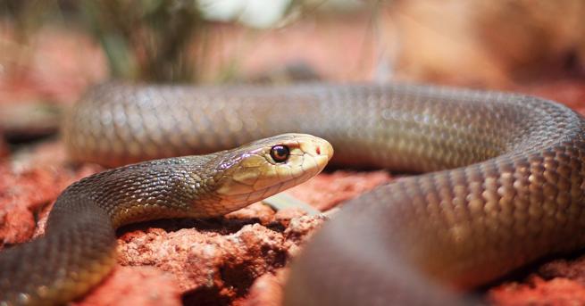 Любопитно Защо черната мамба е една от най-страховитите змии в