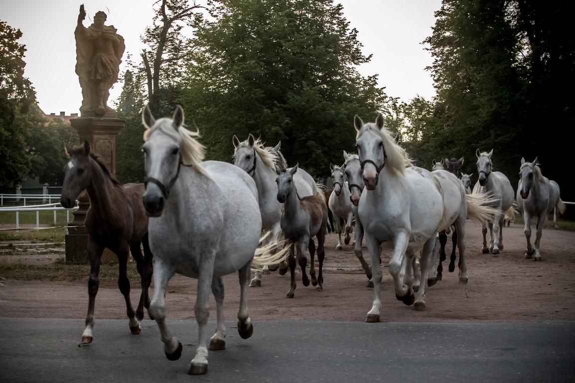 <p>Традицията за развъждане и обучение на коне в Кладруби е една от водещите в Европа и е оцеляла от векове до днес.</p>