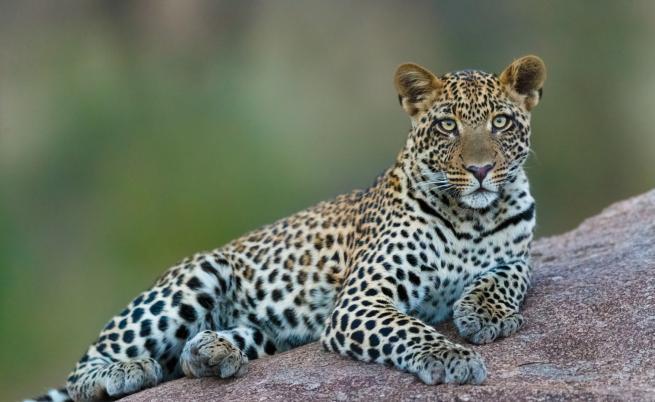 Леопард се скри зад пералня (ВИДЕО)