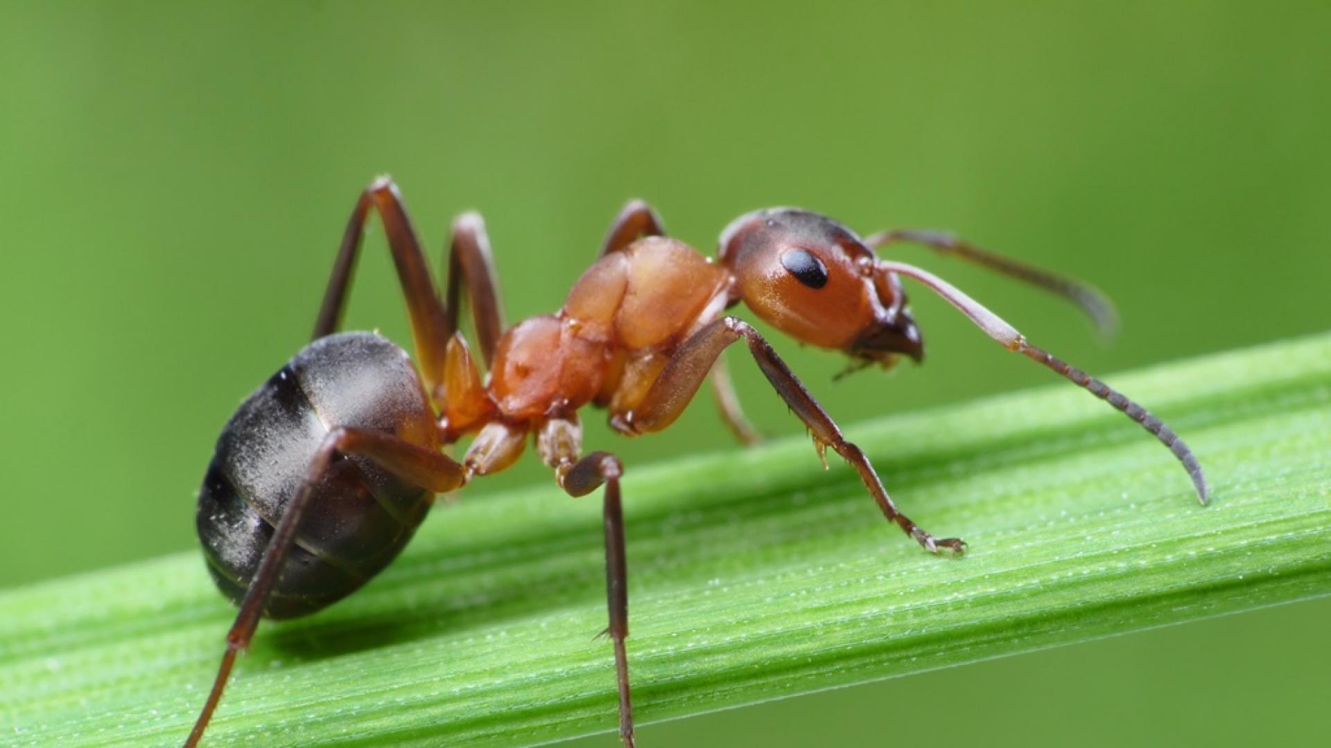 Паразит контролирa мравки, превръщайки ги в зомбита