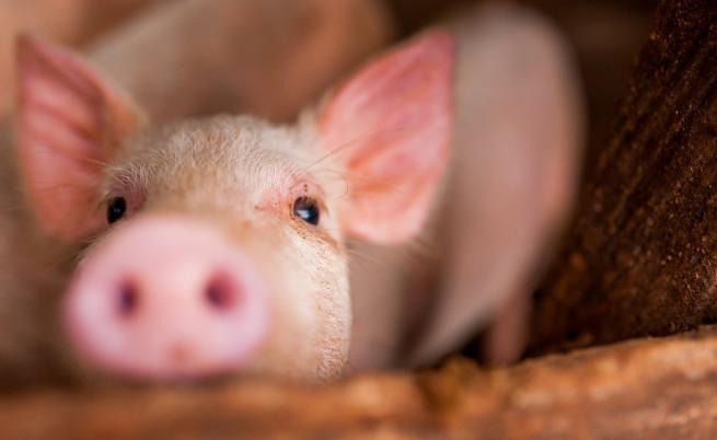 Свинската чума стигна до София