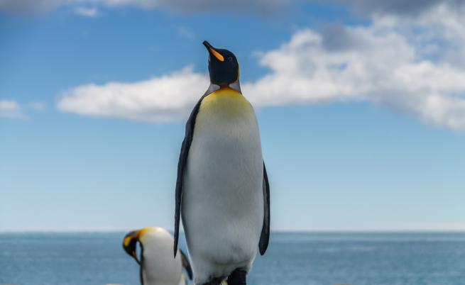 Откриха фосил на пингвин с човешки размери в Нова Зеландия