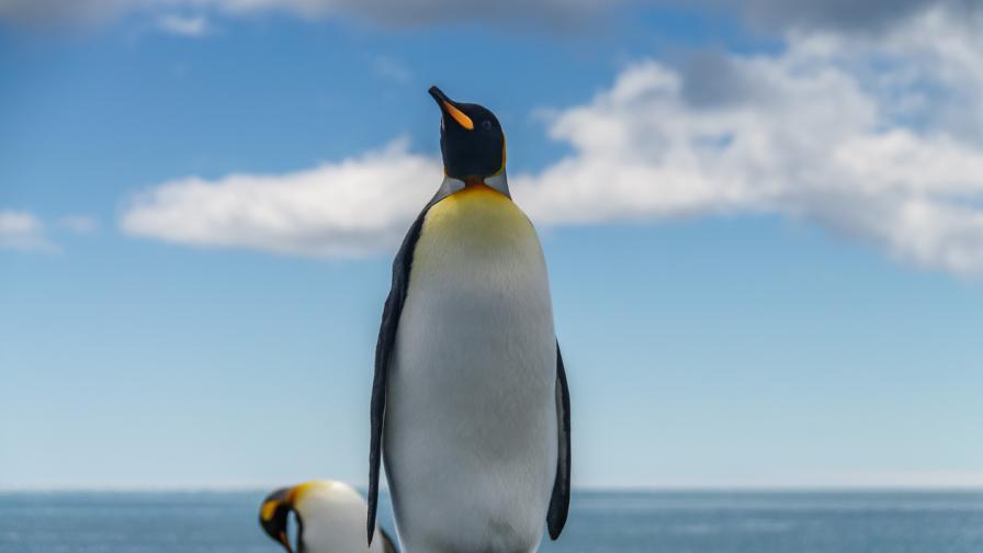 <p>Откриха фосил на <strong>пингвин с човешки размери </strong>в Нова Зеландия</p>
