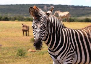 Заснеха зебра на точки вместо на райета