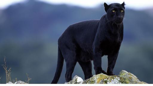 <p><strong>Черна пантера</strong> се разходи по покриви на къщи&nbsp;(ВИДЕО)</p>
