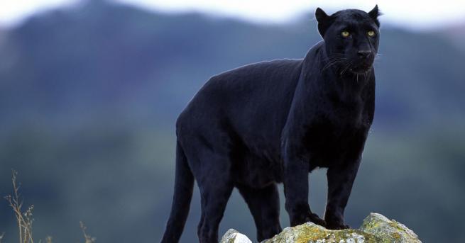 Любопитно Черна пантера се разходи по покриви на къщи (ВИДЕО)