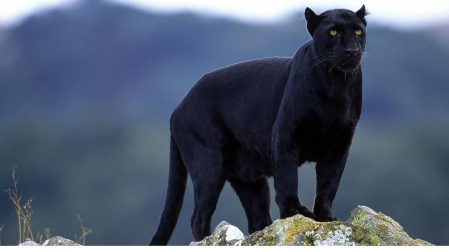 Черна пантера се разходи по покриви на къщи (ВИДЕО)