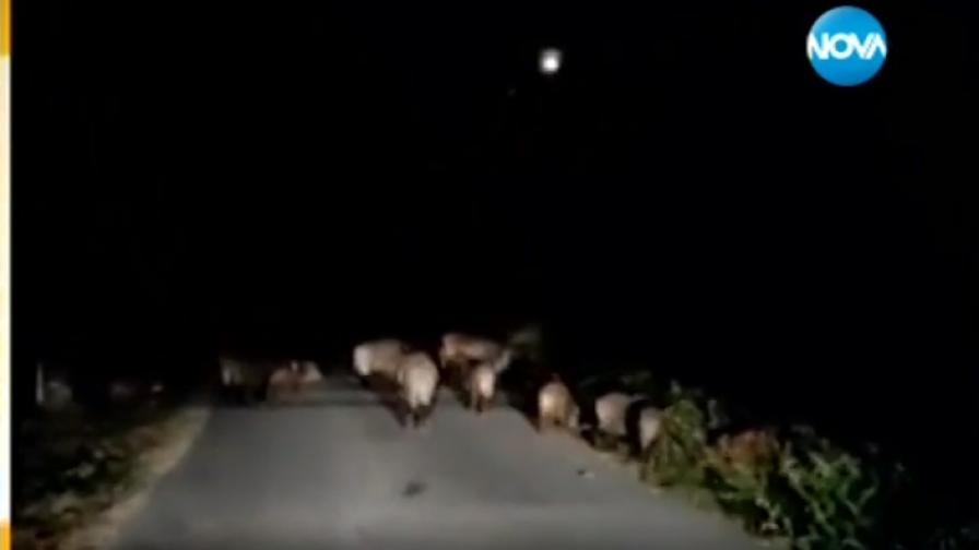 Терор и страх - диви прасета влизат в домовете