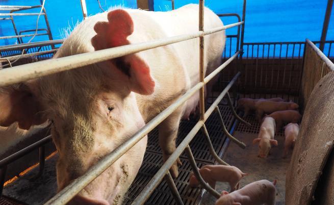 В Китай развъждат гигантски прасета, като полярни мечки