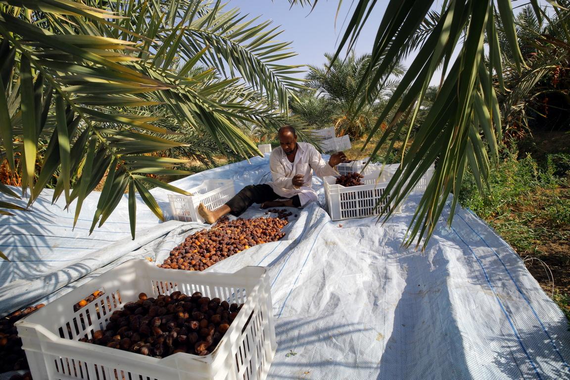 <p>Земеделието е основната икономическа дейност за хората в Оазис Сива, особено фурмите и маслините.</p>  <p>&nbsp;</p>
