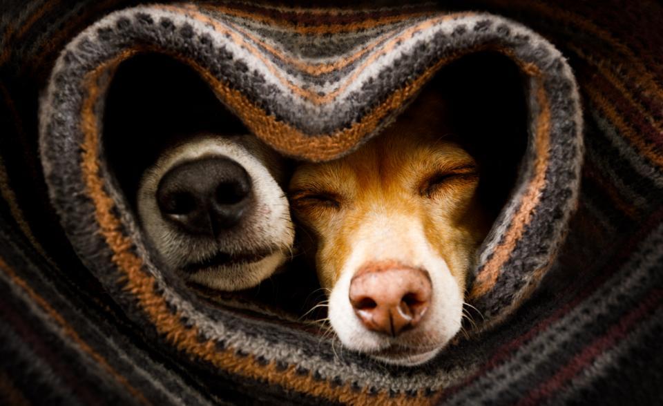 кучета домашен любимец куче