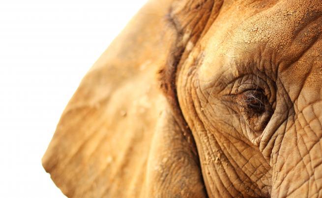 Виктория пресъхва, слоновете умират