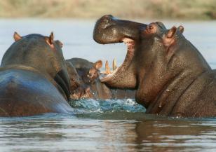 Как хипопотамите оцеляват в жегите