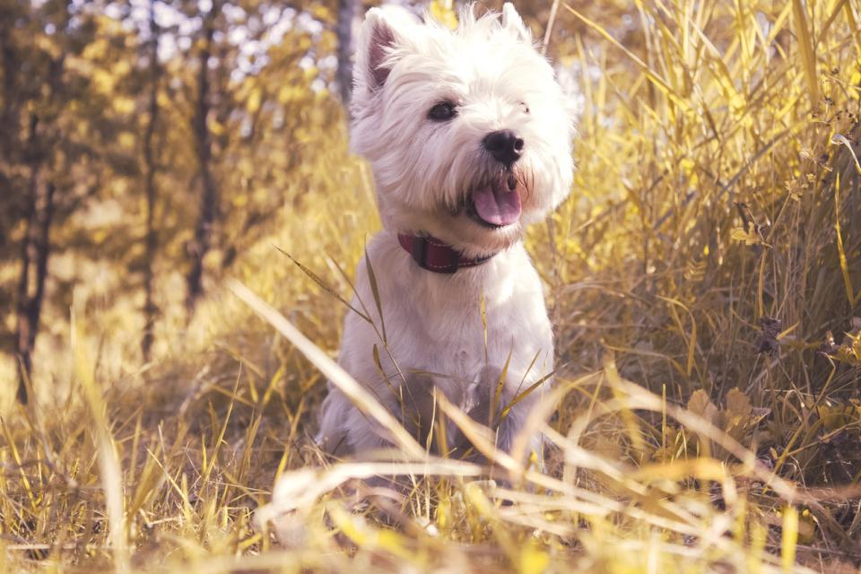 домашен любимец куче кърлеж