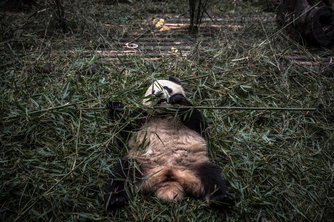 <p>Като един от най-разпознаваемите символи на Китай, гигантските панди също са известни с дипломатическата си &bdquo;стойност&ldquo; и се използват като политически подаръци на Китай към други държави с термина, наречен &bdquo;Panda Diplomacy&ldquo;.</p>