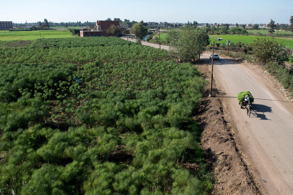 <p>Растения папирус във ферма в село Ал-Карамос, област Шаркия, северно Кайро, Египет.</p>