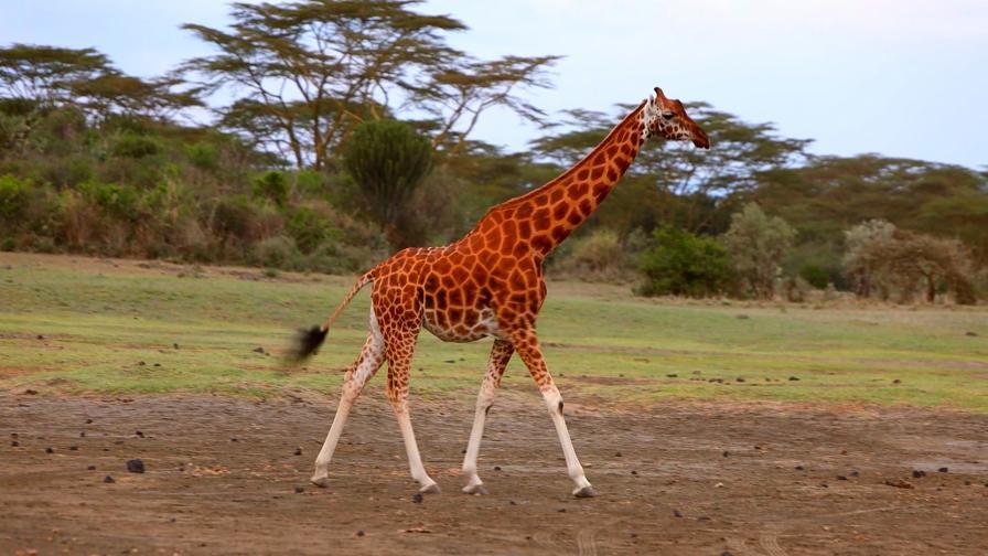 Жирафи с бели чорапи