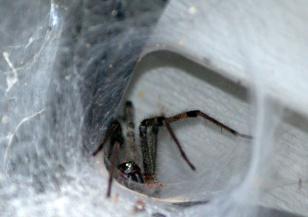 Смъртоносни паяци в Австралия заради влагата