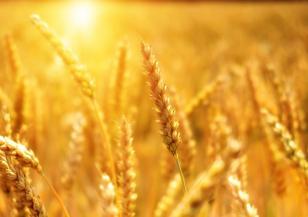 Очаква се слаба реколта от пшеница заради сухото време