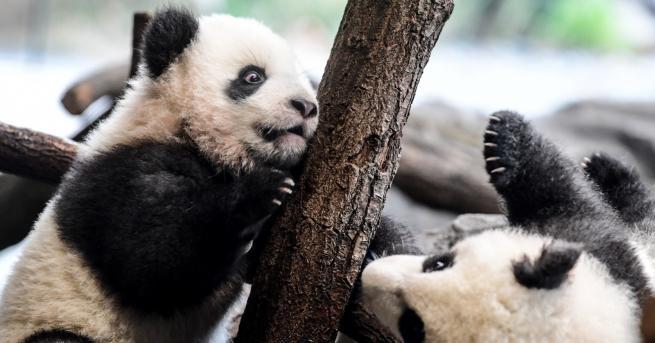 Любопитно Тези две малки панди се готвят за дебют (СНИМКИ)