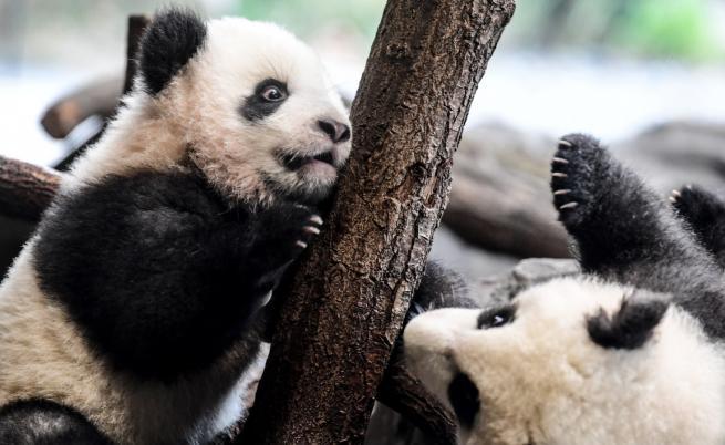 Тези две малки панди се готвят за дебют (СНИМКИ)