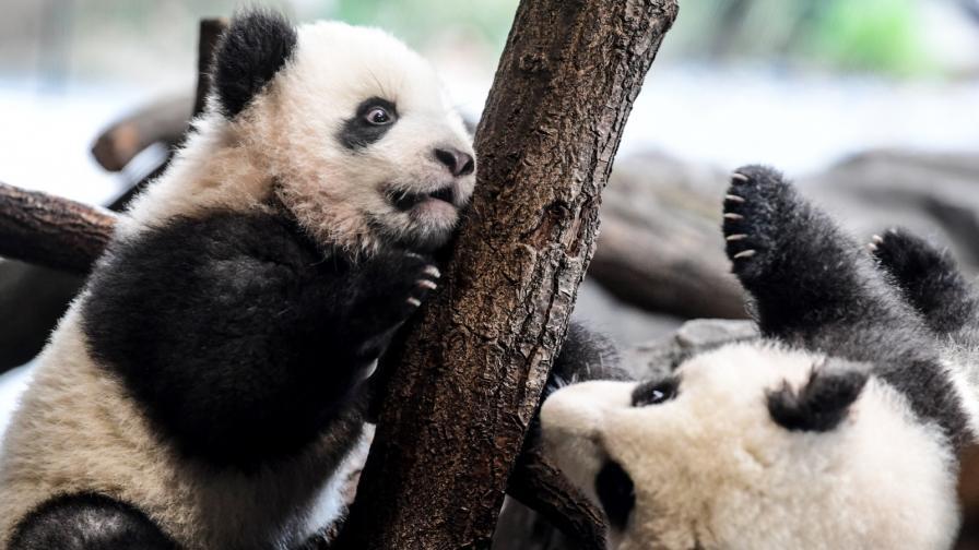 <p>Тези две <strong>малки панди</strong> ще ви стоплят сърцето (СНИМКИ)</p>