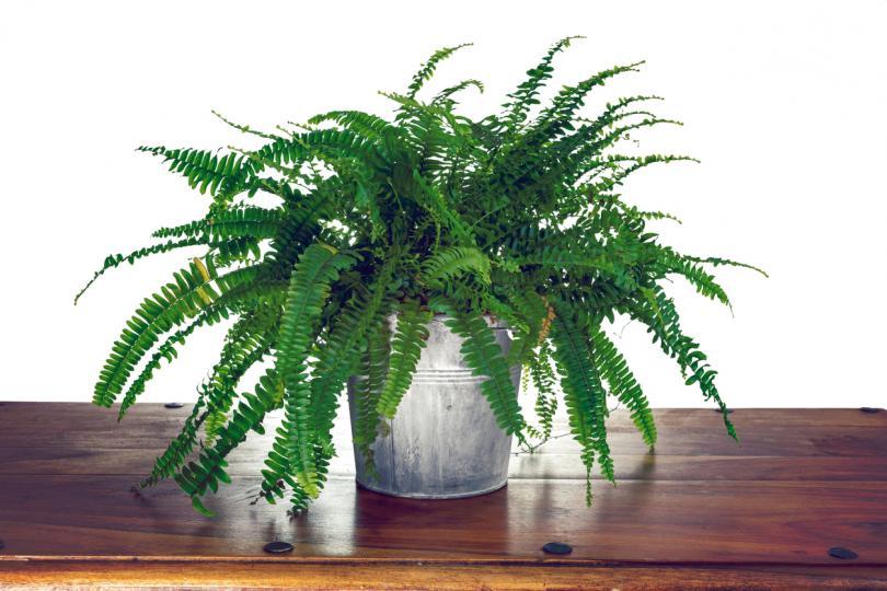 <p><strong>Нефролепис (папрат)</strong></p>  <p>Стайни растения, които предлагат красота и редица ползи.&nbsp;Тези растения действат като овлажнители и могат да помогнат за възстановяване на влагата във въздуха, така че те са идеални за тези, които страдат от суха кожа.&nbsp;Подпомагат премахване на следи от формалдехид. Изглеждат красиви във висящи кошници.</p>