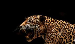 Ягуарите - красиви, диви, но застрашени от изчезване