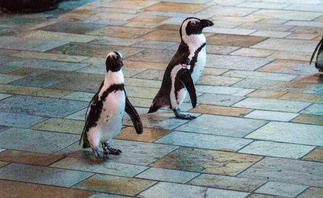 Какво правят по време на карантина … пингвините