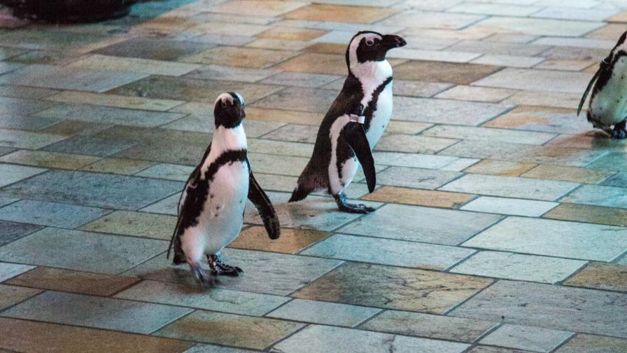 <p>Какво правят по време на карантина &hellip; пингвините</p>