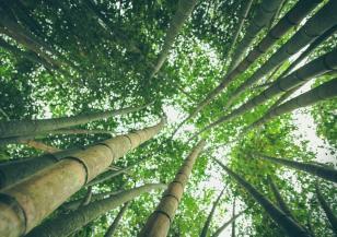 Знаете ли това за бамбука
