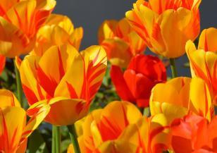 Пролетни цветя ще разкрасят София