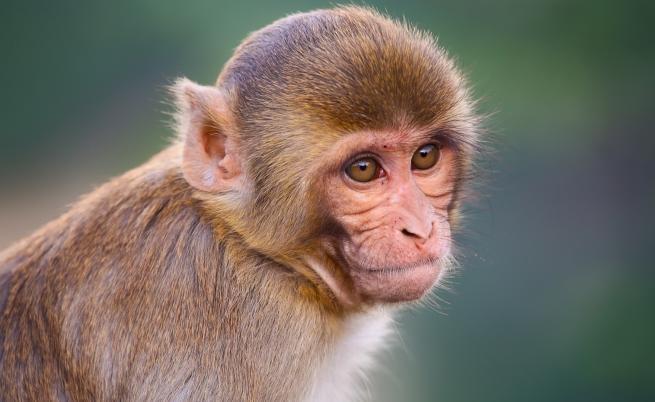 Биолози спряха развитието на COVID-19 при маймуни с лекарство срещу ебола