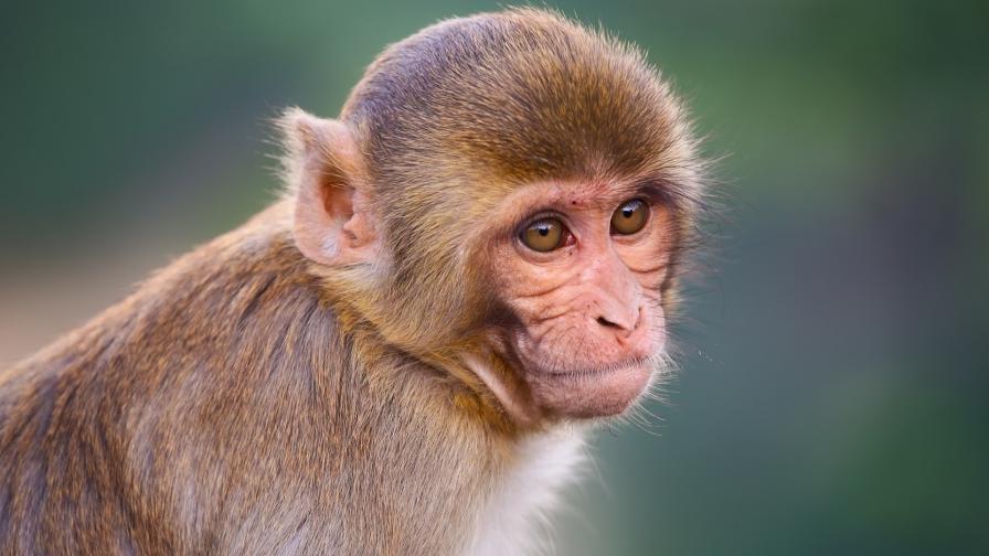 <p>Лекарство срещу ебола спря развитието на COVID-19 при маймуни</p>