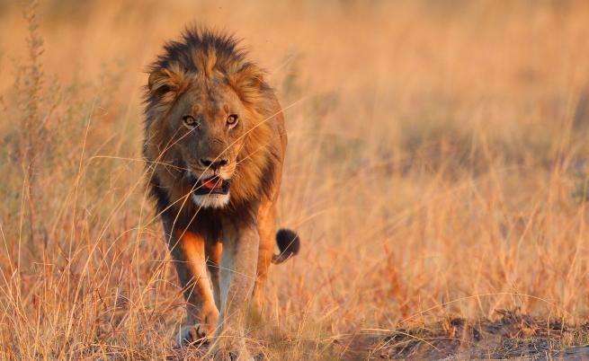 Светът на дивата природа: Съюзът между бабуините и лъвовете