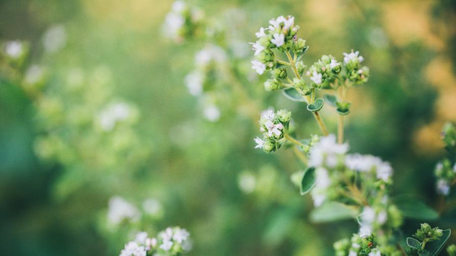 Лечебните свойства на билката бяло подъбиче