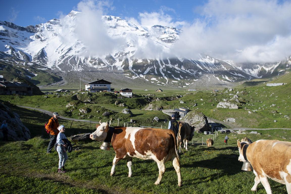<p>Кравите пасат по ливадите с маргаритки, глухарчета и детелини. Местните фермери казват, че това е идеалната комбинация от растения за млякото на кравите.</p>