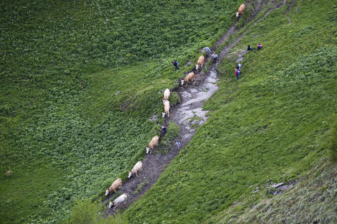 <p>Придружени от опитни пастири, около 500 животни преминават по пътеката с денивилация над 600 м надморска височина за малко над един час</p>