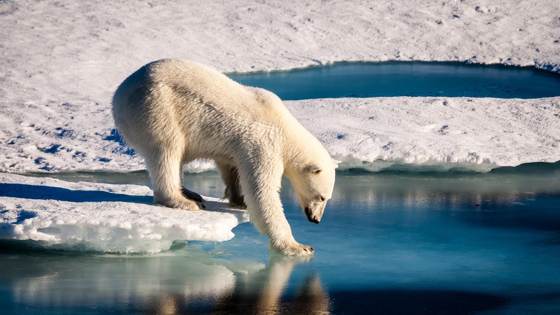 Тревожно: Полярните мечки може да изчезнат до края на века