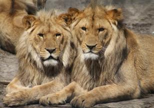 Днес е Световен ден на лъва