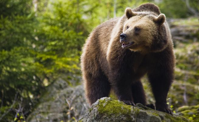 Какво прави Камчатка перфектния дом за кафявите мечки