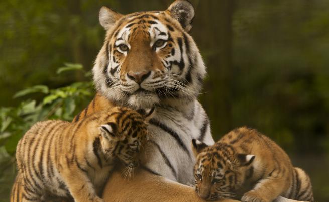 Как се чифтосват сибирските тигри