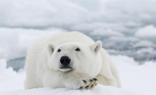 Как ловуват белите мечки
