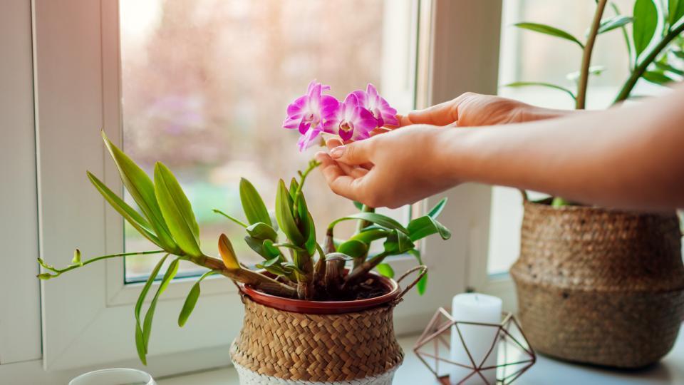 орхидея орхидеи