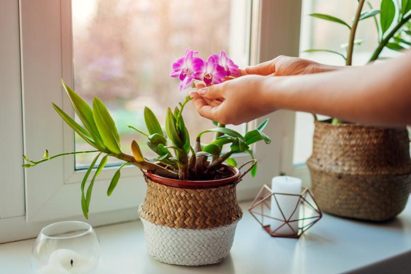 <p>1. Красотата</p>  <p>Орхидеята е прекрасен вариант за украса в дома.&nbsp;Според езика на цветята символизира любов, красота, плодовитост, пречистване и обаяние. Цветът също има своето значение и може да придаде различен смисъл. Червените орхидеи означават страст и желание, кураж и сила, а розовите &ndash; елегантност, радост, женственост и щастие. Белите орхидеи изразяват уважение, скромност, невинност, чистота и красота, а лилавите &ndash; възхищение, почит, величие. Жълтите орхидеи разкриват приятелство и ново начало, а оранжевите &ndash; гордост и смелост. Зеленият цвят на орхидеите носи късмет и щастие, а естествено синият цвят е изключително рядък и символизира уникалност.</p>